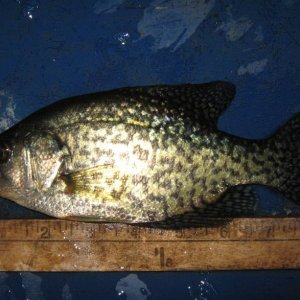 nine inch crappie 02 22 2019