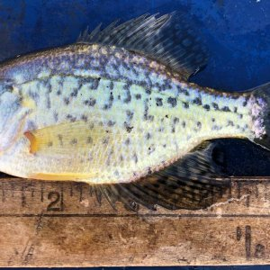 six inch crappie 01 14 2020