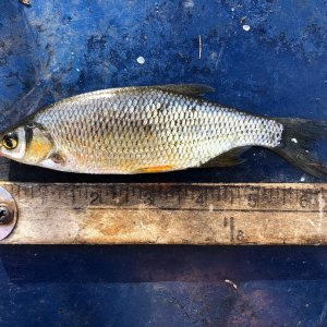 six and one half inch golden shiner 02 02 2020