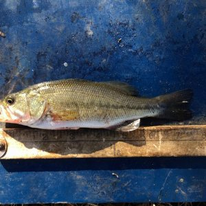 seven one half inch largemouth 02 02 2020