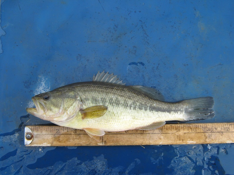 Papoose 11 inch bass 01 15 2017